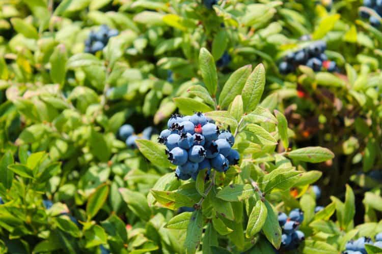 Blueberry Basil Cheesecake Smoothie -7