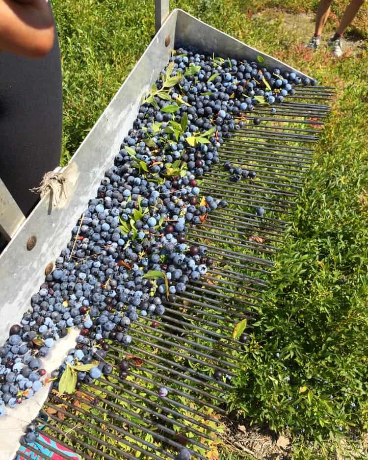 Wild Blueberry Basil Cheescake Smoothie - 1 (8)