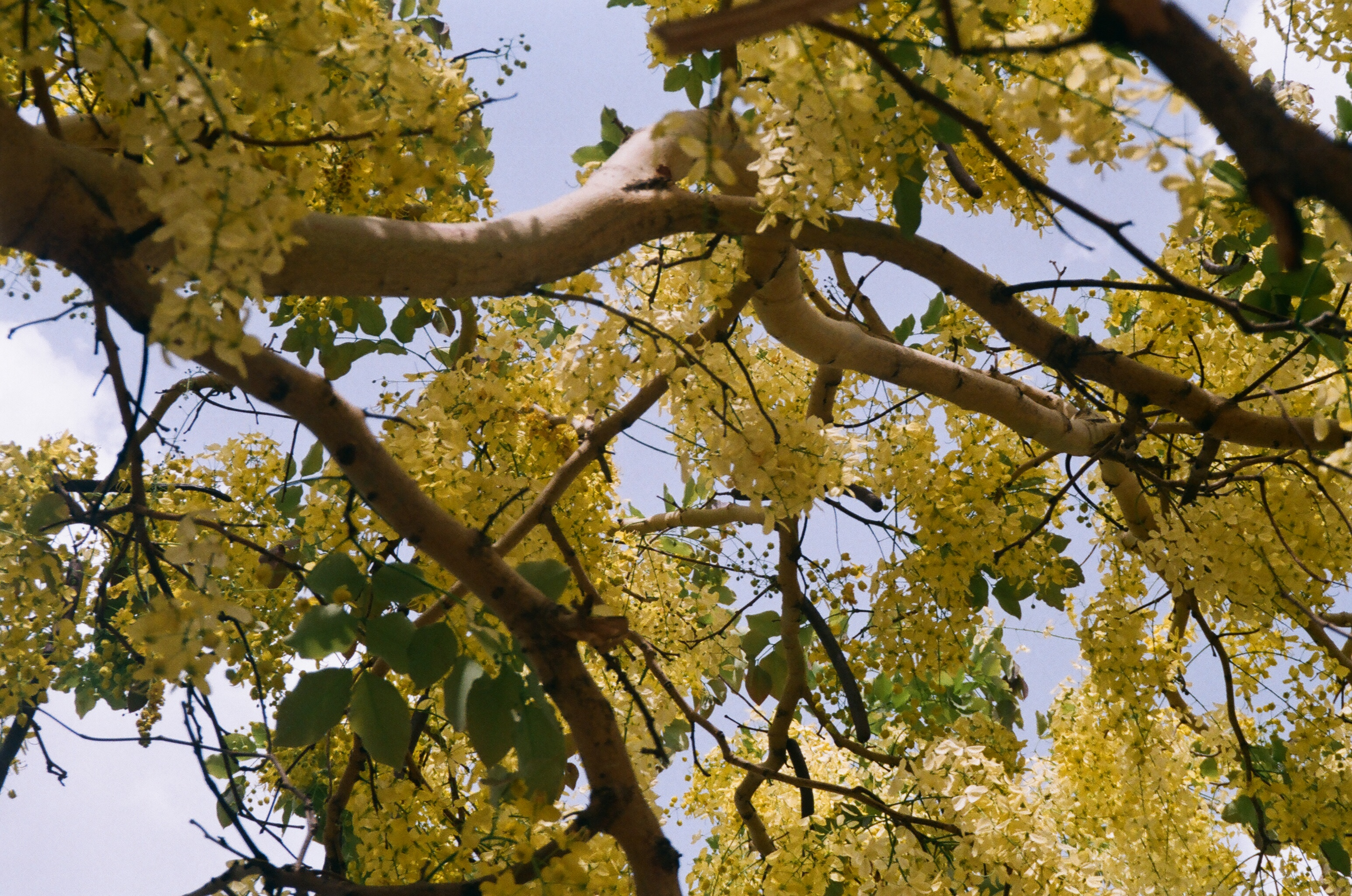 Amaltas-Cassia fistula in full bloom in Jaipur
