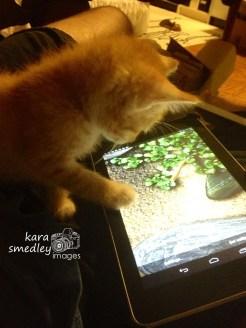 Koi Fish App for Gallant