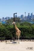 Giraffe & Skyline