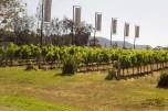 Vineyard in Afternoonn Su