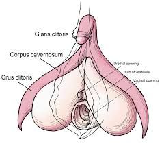 clitoris diagram