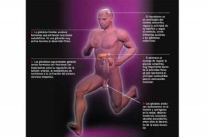 sistema-hormonal-deportista_thumb_e