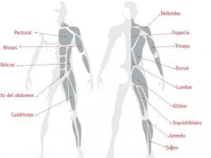 los-musculos-del-deportista