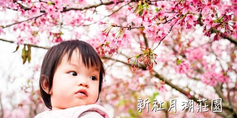 櫻花   台中新社  月湖莊園。百株吉野櫻粉紅盛開,浪漫粉色彷彿小小武陵