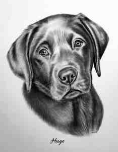 Labrador Zeichnung