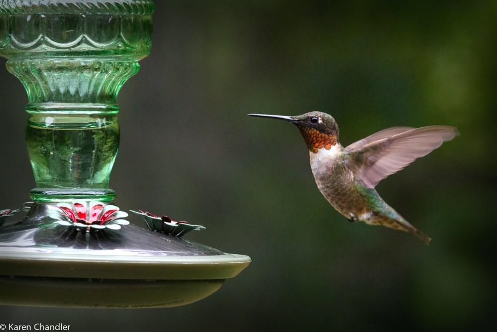 Photographing a Male Ruby-throated Hummingbird: A Simple Strategy (1/4)