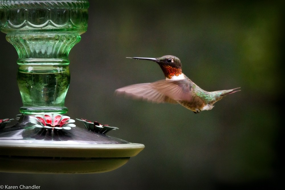 Photographing a Male Ruby-throated Hummingbird: A Simple Strategy (2/4)