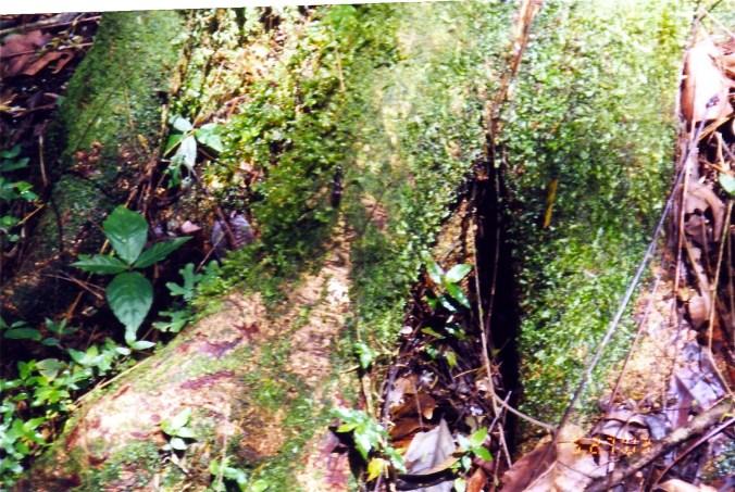 Mossy Costa Rica Tree