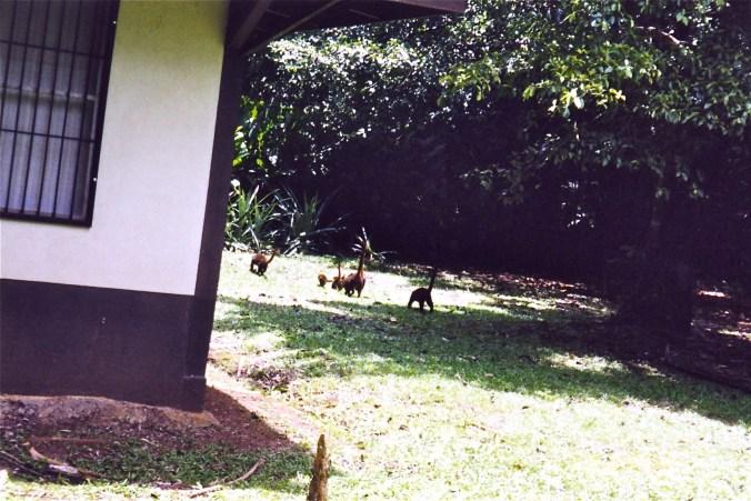 Costa Rica Coatimundi Family