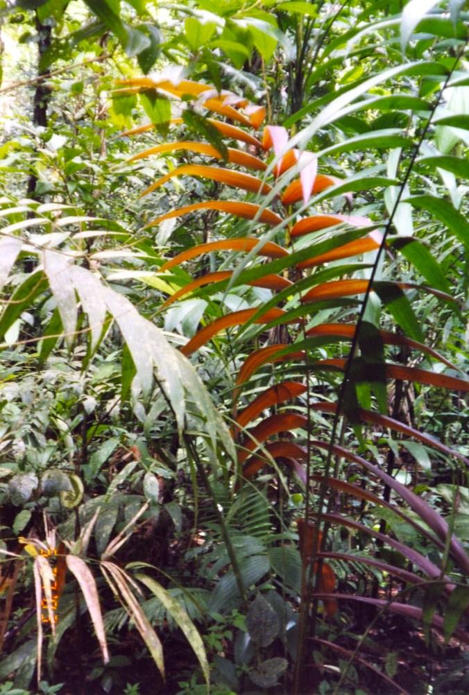 Costa Rica Red Leaf