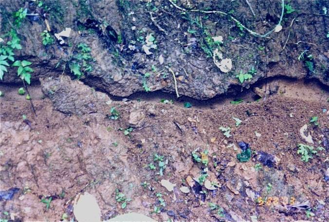 Costa Rica Leaf Cutter Ants