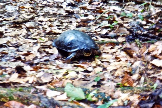 Costa Rica River Turtle