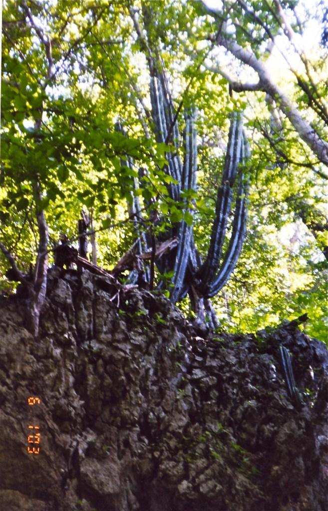 Cactus in Pale Verde