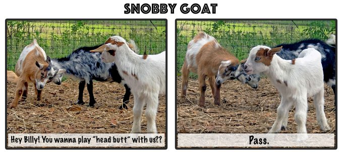 Comic of snobby goat that does not want to play