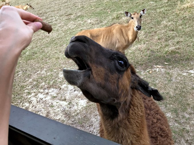 Llama with open mouth waiting for a treat, nilgai looking on in background
