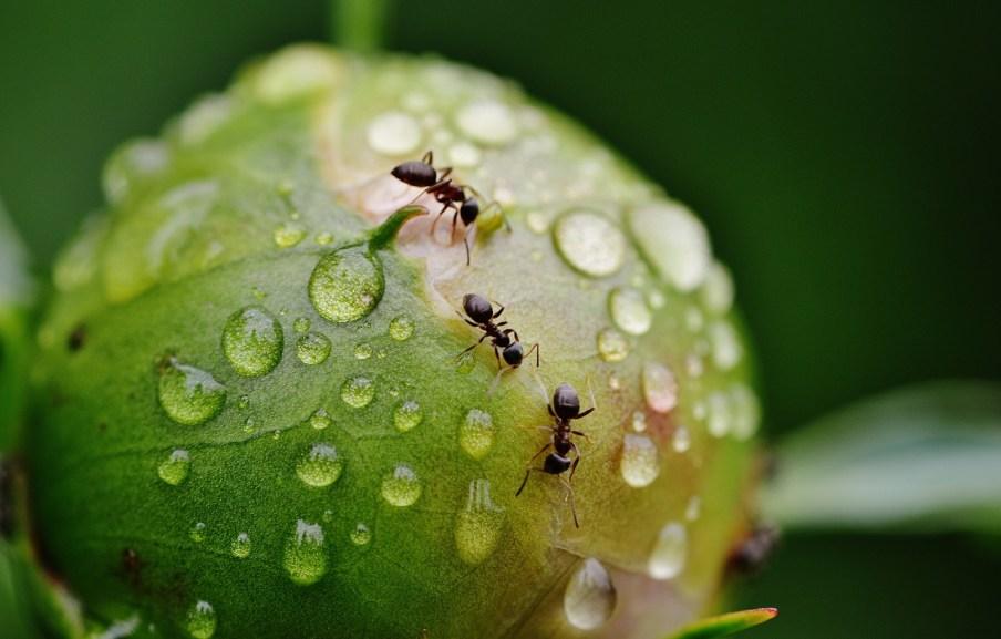 three ants on a peony bud