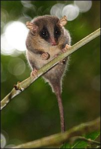 Cercarteus pygmy possum