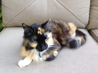 Maddie, my cat, a medium-hair mosaic cat