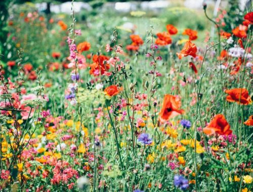 Wildflowers, How to Get Your Free Wildflower Seeds, Karen Hugg, https://karenhugg.com/2019/04/05/wildflower-seeds/ #seeds #wildflowers #bees #seedpackets #free #TheForgettingFlower #KarenHugg #books #novels #gardening #plants
