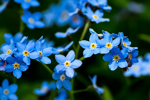 Blue Forget Me Nots, On Being Astonished and Capturing the Sight in a Poem, Karen Hugg, https://karenhugg.com/2019/05/03/on-being-astonished-and-capturing-the-sight-in-a-poem/ #ThomasAThomas #poems #poetry #photography #fern #plants #gardening #photos