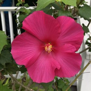 Magenta Hibiscus in Hawaii, 7 Heavenly Flowers That Will Enchant You in Hawaii, Karen Hugg, https://karenhugg.com/2019/05/02/hawaii-flowers/, #Hawaii #flowers #plants #tropical #gardening #islandlife #BigIsland