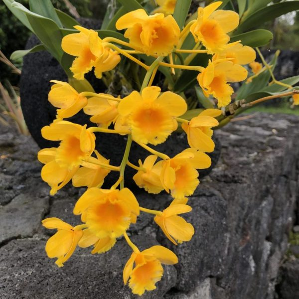 Yellow Dendrobium in Hawaii, 7 Heavenly Flowers That Will Enchant You in Hawaii, Karen Hugg, https://karenhugg.com/2019/05/02/hawaii-flowers/, #Hawaii #flowers #plants #tropical #gardening #islandlife #BigIsland