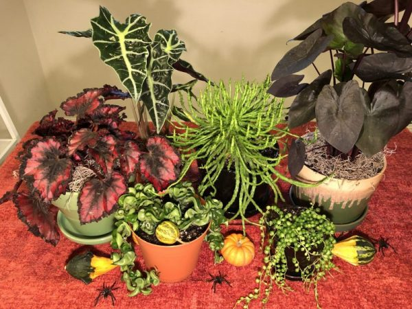 8 Spooky Houseplants for Your Halloween Home, Karen Hugg, https://karenhugg.com/2019/10/27/spooky-houseplants #houseplants #Halloween #spookyplants #plants