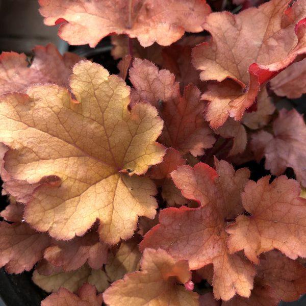 Heuchera 'Peach Flambe,' The Rich Blaze of Red and Orange Heucheras, Karen Hugg, https://karenhugg.com/2019/11/01/Red and Orange Heucheras/ #coralbells #autumn #redandorange #perennials #heucheras #fall #fallcolor