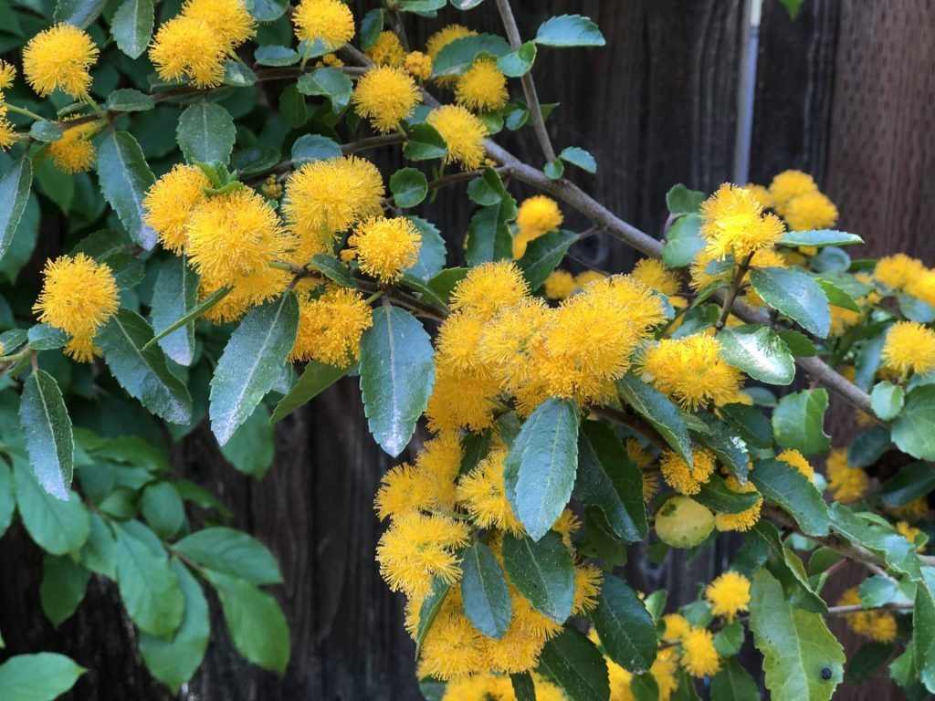 Andean Gold Saw-toothed Azara, An Azara is Exotic But Easy to Grow, Karen Hugg, https://karenhugg.com/2020/06/30/azara #azara #exotic #tree #SouthAmerica #Chile #evergreen #fragrant #floweringtree #easytogrow