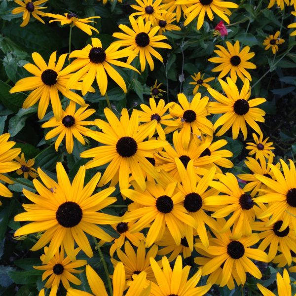 Black-eyed Susan, The 10 Best Perennials for Sun, Karen Hugg, https://karenhugg.com/2020/07/01/best-perennials-for-sun/ #perennials #blackeyedsusan #rudbeckia #goldsturm #flowers #plants #yellow #sun #easy #best