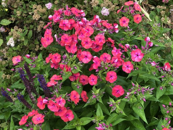 The 10 Best Perennials for Sun, Karen Hugg, https://karenhugg.com/2020/07/01/best-perennials-for-sun/ #perennials #phlox #coralredflame #flowers #plants #coral #sun #easy #best