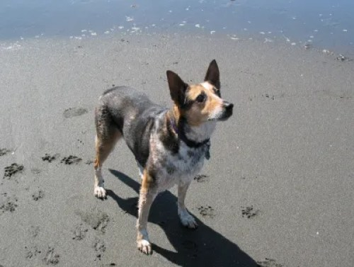 Iris my dog, Karen Hugg's Pets, Karen Hugg, https://karenhugg.com/pets #dogs #cats #pets #Northwest #Seattle #KarenHugg #cattledog