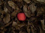 Apple in Leaves (by Janos Patrik), News About My New Novel, Harvesting the Sky, Karen Hugg, https://karenhugg.com/2020/12/20/harvesting-the-sky/ #books #fiction #KarenHugg #HarvestingtheSky #Paris #thriller #mystery #crimefiction #author #novel