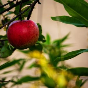 Apple on Branch, Why I Wrote a Novel About a Unique Apple: Excerpt, Karen Hugg, https://karenhugg.com/2018/07/07/apple-novel-excerpt/(opens in a new tab), #book #fiction #HarvestingtheSky #novel #KarenHugg #Paris #apple #botany #excerpt #origins #thriller #crimefiction #mystery #botaniquenoire