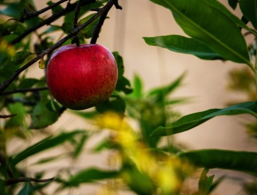 Apple on Branch, Why I Wrote a Novel About a Unique Apple: Excerpt, Karen Hugg, https://karenhugg.com/2018/07/07/apple-novel-excerpt/(opens in a new tab), #book #fiction #HarvestingtheSky #novel #KarenHugg #Paris #apple #botany #excerpt #origins #thriller #crimefiction #mystery #botaniquenoire