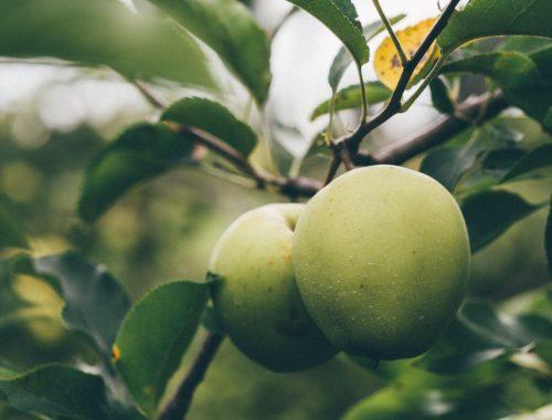 White Apple, Why I Wrote a Novel About a Unique Apple: Botany, Karen Hugg, https://karenhugg.com/2018/06/29/apple-novel-botany/ #books #fiction #novel #HarvestingtheSky #KarenHugg #apple #Paris #botany #origins #writing #botaniquenoire
