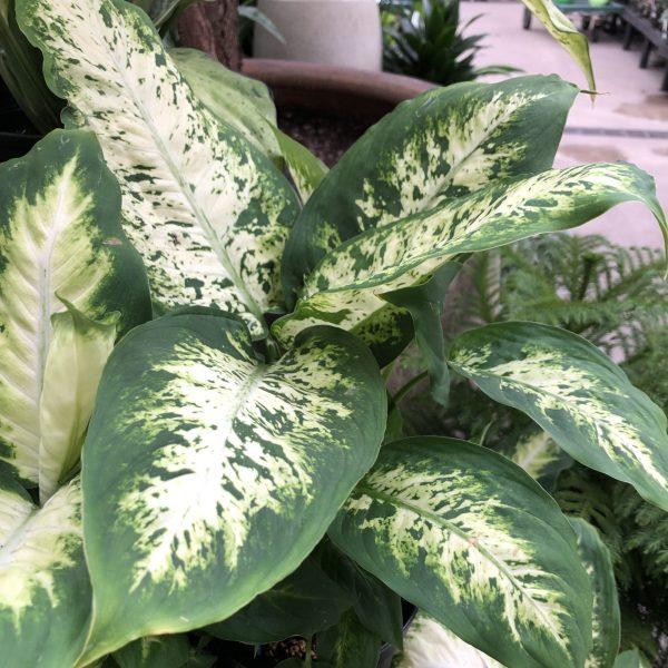 Chinese Evergreen, 5 of the Easiest House Plants to Grow, Karen Hugg, https://karenhugg.com/2021/01/08/easiest-house-plants/(opens in a new tab) #houseplants #house #plants #chineseevergreen #variegated #indoorplants