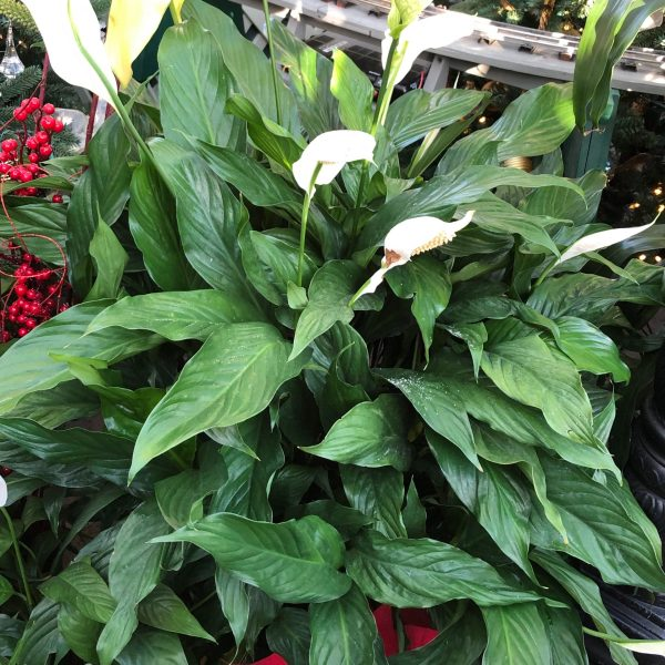 Peace Lily, 5 of the Easiest House Plants to Grow, Karen Hugg, https://karenhugg.com/2021/01/08/easiest-house-plants/(opens in a new tab) #houseplants #house #plants #peacelily #variegated #indoorplants