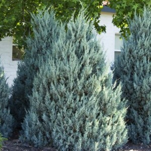 Wichita Blue Juniper, Three Wonderful But Small Trees to Remember Lost Loved Ones, Daily Stress ReLeaf, Karen Hugg, https://karenhugg.com/2021/03/11/trees-to-remember/(opens in a new tab), #trees #dailystressreleaf, #plants #covid #memorial #remember #lovedones #smalltrees