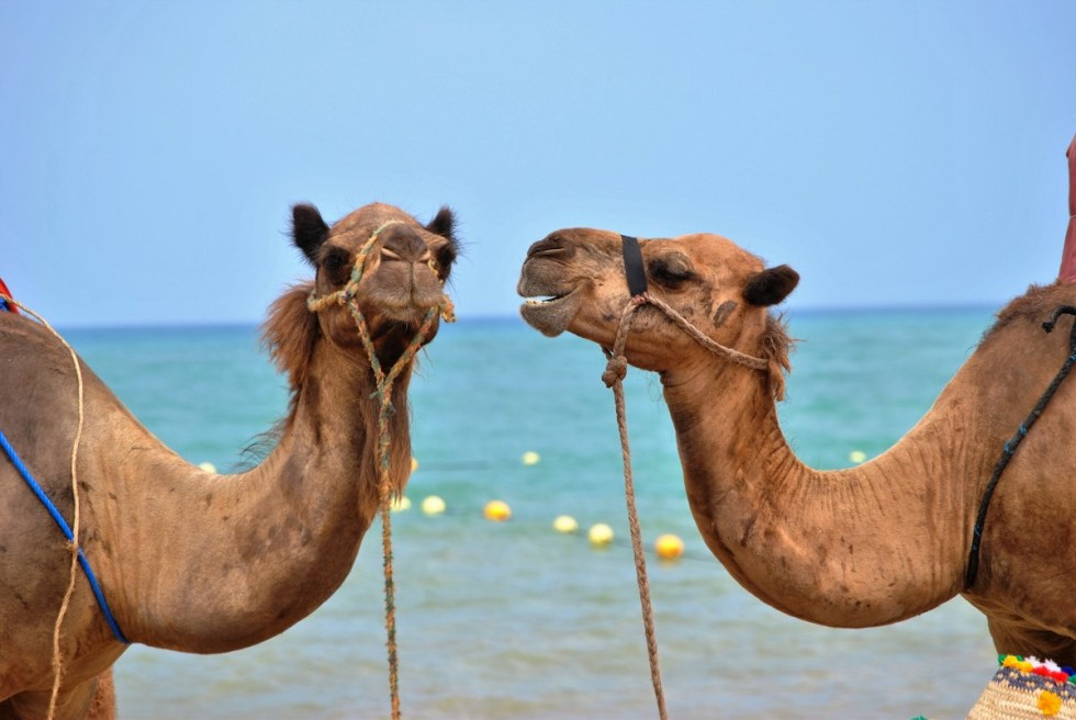 morocco-camels