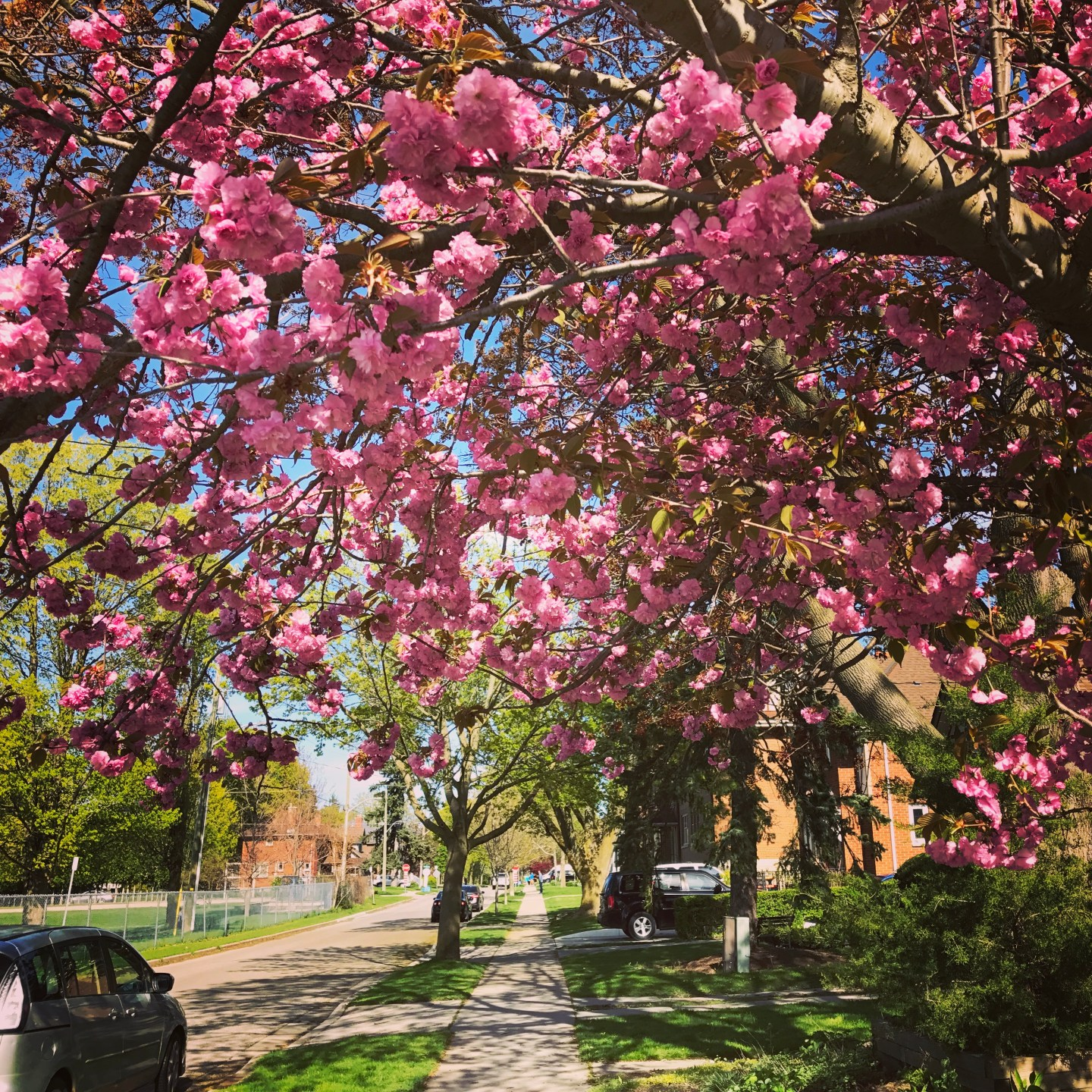 blossoming tree on a peaceful street