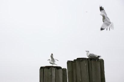 Sea Gulls alight in Battery Park