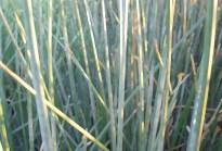 Reeds in Alviso