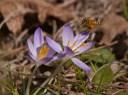 blooming crocus1