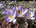 blooming crocus2
