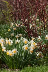 Daffodils and dogwood © 2014 Karen A Johnson