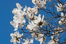 Magnolia and bees © 2014 Karen A Johnson