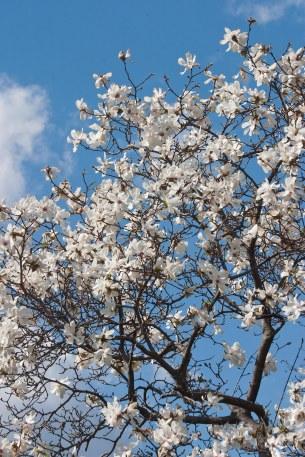 Magnolia branch © 2014 Karen A Johnson